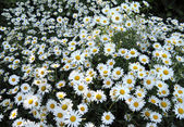Background from a white camomile — ストック写真