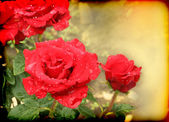 Beautiful card with scarlet roses — Stock Photo