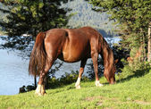 Pregnant horse eats a juicy green grass — Stock Photo