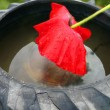 Stock Photo: Scarlet poppy in an old inner tube with water