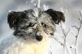 Shaggy white dog in hoarfrost — Stock Photo