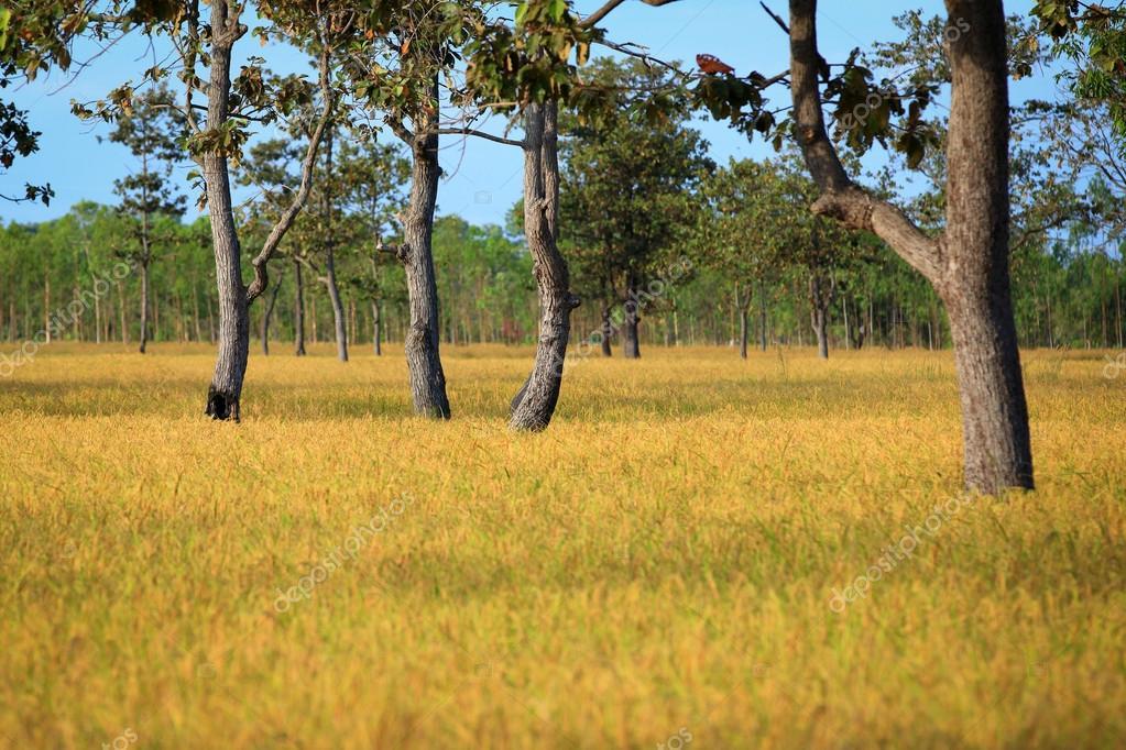 泰国的麦田日落— photo