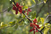 Blooming Japanese QuinceTree — Stock Photo