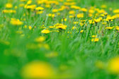 Meadow of dandelions — Stock Photo