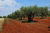 Campo verde-oliva — Foto Stock
