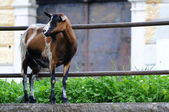 Lovely goat standing on the edge of wall — Foto Stock