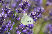 White Butterfly on Lavender (lavendula) — Stock Photo