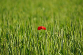 One poppy in the wheat field — Stock Photo