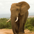 Large African bull elephant — Stock Photo #18212219