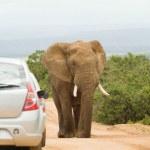 Large African bull elephant — Stock Photo #18212241