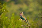 Lilac breasted roller — Stock Photo