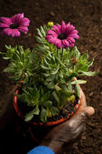 African American Hands Holding Purple Potted Flowers — Stock Photo
