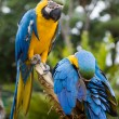 Royalty-Free Stock Photo: Blue and yellow macaws