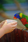 Feeding parrot — Stock Photo