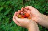 Boy hand holding organic green red tomatos — Stock Photo