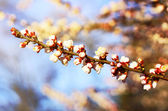 Blooming branch of the fruit tree — Stock Photo