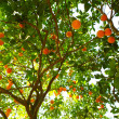Orange Tree — Stok fotoğraf