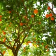 Orange Tree — Stockfoto