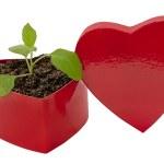 Love Grows Heart Shaped Box — Stock Photo