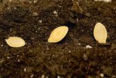 Seeds Laying In Soil XXXL — Stock Photo