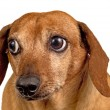 Stock Photo: Dog Looking Concerned Close Up Isolated