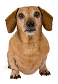 Daschund Looking Forward Close Up Isolated — Stock Photo