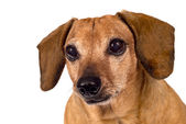 Dog Looking Forward Close Up Isolated — Stock Photo