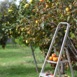 Picking fruits from tree — Stock Photo