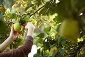 Gathering fresh fruits from tree — Stock Photo