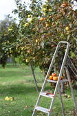 Picking fruits from tree — Stok fotoğraf