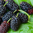 Sweet Black Mulberry — Stock Photo #47406951