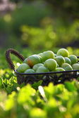 Green plums in basket — Stock Photo