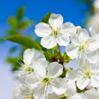 Blooming cherry tree with white flowers on blue sky in spring — Stock Photo