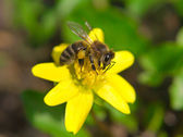 Honey bee pollinates a yellow flower — Stock Photo