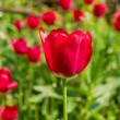Pink tulips on plantation — Stock Photo #21700813