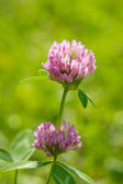 Yeşil zemin çiçek yonca — Stok fotoğraf