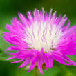 Royalty-Free Stock Photo: Bright pink ageratum flower