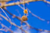 Solitário espinho seco pendurado na árvore — Fotografia Stock