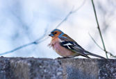 Male House sparrow alighted — Stock Photo