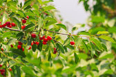 Branch of a tree with ripe fruits cherry — Stock Photo