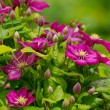 Background of beautiful clematis flowers — Stock Photo #35660285