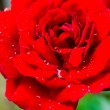 The Bud of a red rose with drops of dew  — Stock Photo