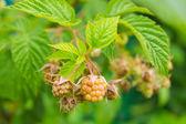 Green raspberry berries — Stock Photo