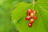 Branch of juicy redcurrant — Foto Stock