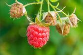 Sweet berries of raspberry — Stock Photo