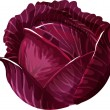 Stock Vector: Red Cabbage.