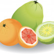 Stock Vector: Grapefruit & pomelo