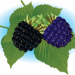 Blackberry - Stock Vector