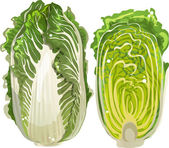 Chinese cabbage — Stock Vector
