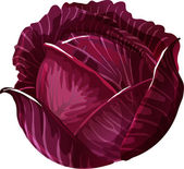 Red Cabbage. — Stock Vector